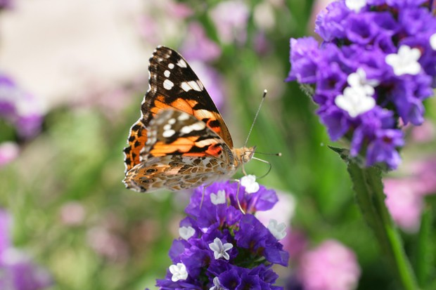 How to plant out cut flowers - painted lady butterfly