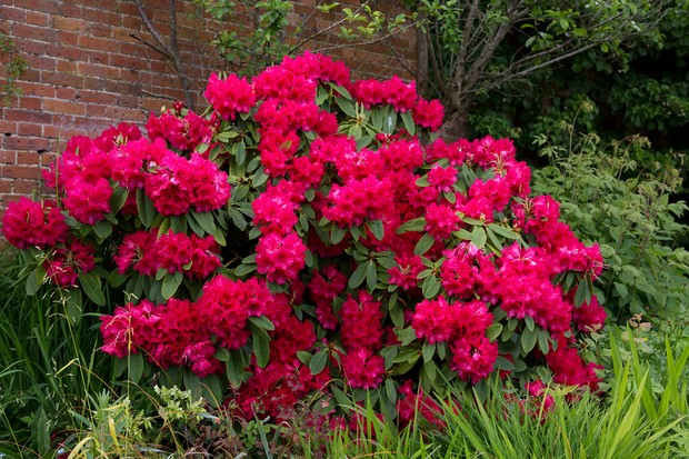 A crimson rhododendron in full bloom