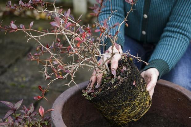 Planting up the berberis