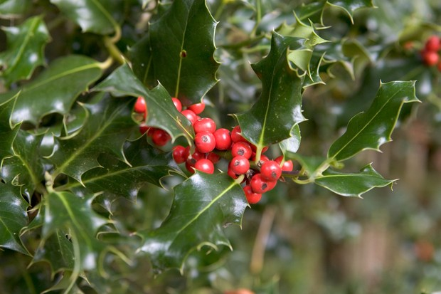 Glossy, spiky holly leaves and clusters of bright red berries -2