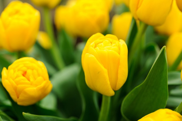tulip-gold-fever-2