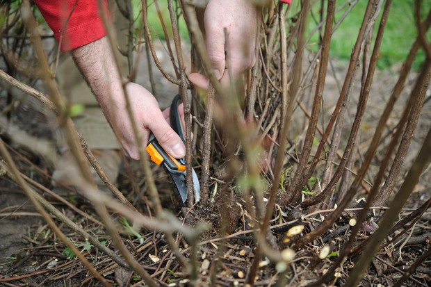Pruning the stem of a shrub down to ground level