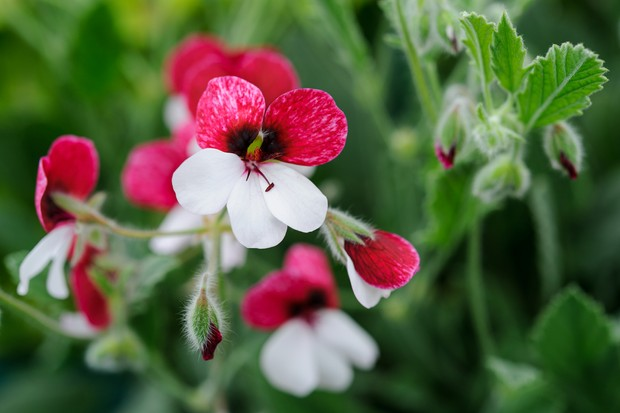 White and red flowers of Pelargonium 'Splendide'