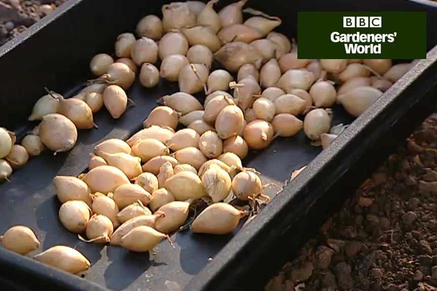 How to grow overwintering onions