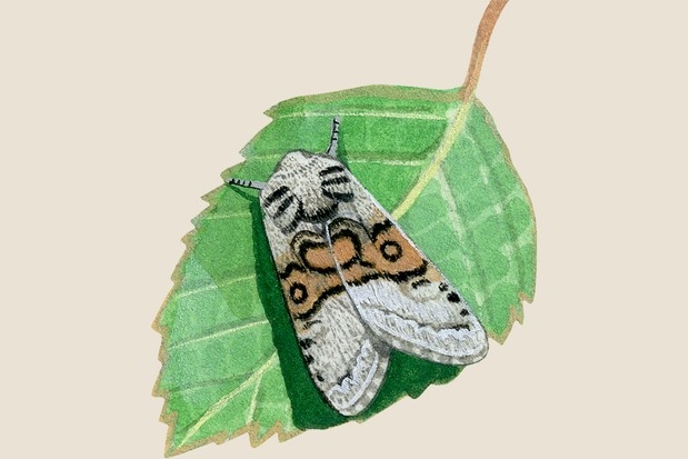 Illustration of a nut tree tussock moth on a leaf