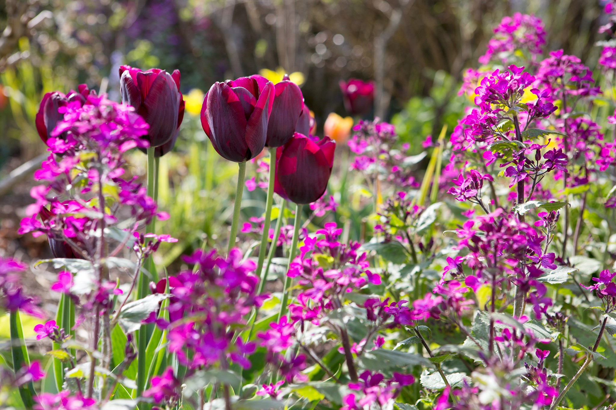What to grow with tulips