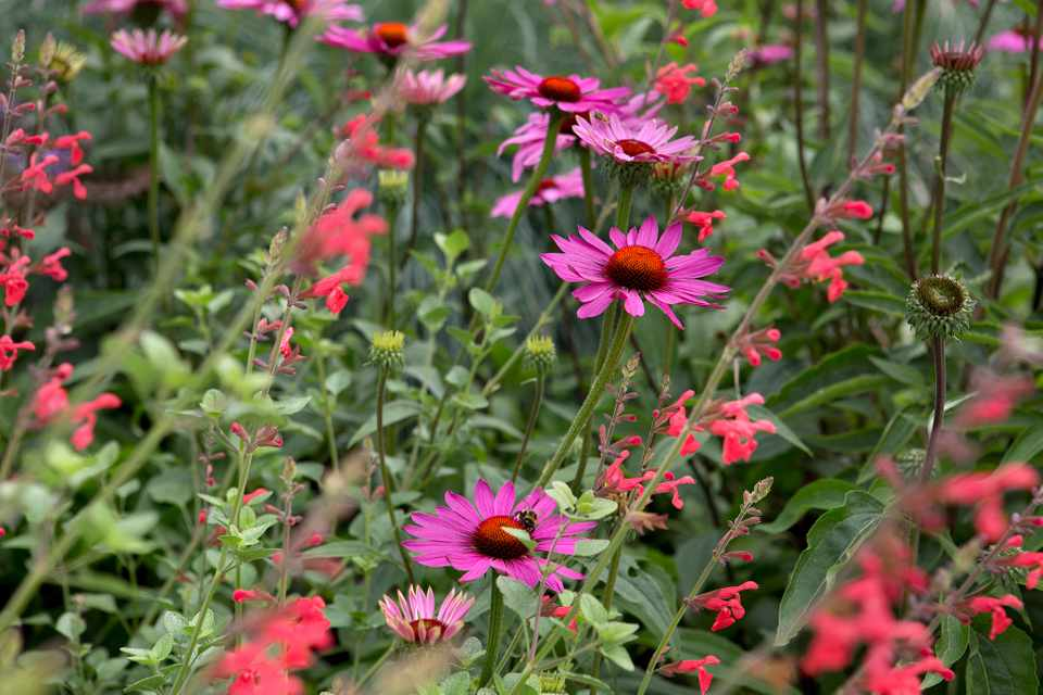 Hot pink of Echinacea 'Magnus' mixed with deep coral pink of Salvia 'Silke's Dream