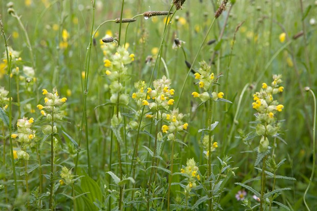 Yellow rattle (Rhinanthus minor) growing with plantains