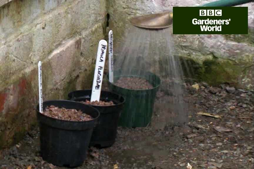 How to sow primula and meconopsis seed video