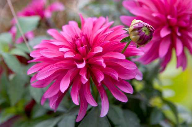 How to grow dahlias from tubers