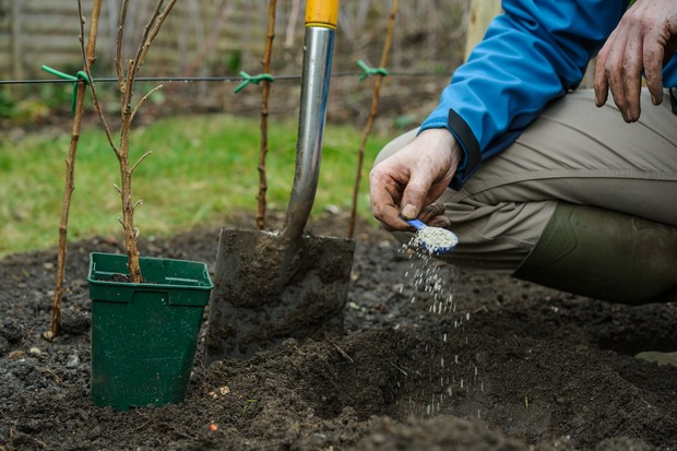 Adding dried mycorrhizal fungi into the planting hole
