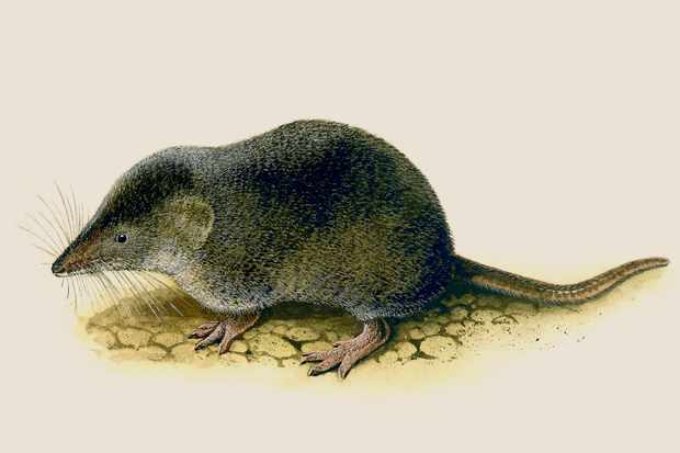 common-shrew-3