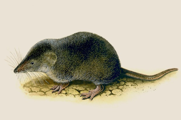 An illustration of a dark brown common shrew with a whiskery, long, pointy snout