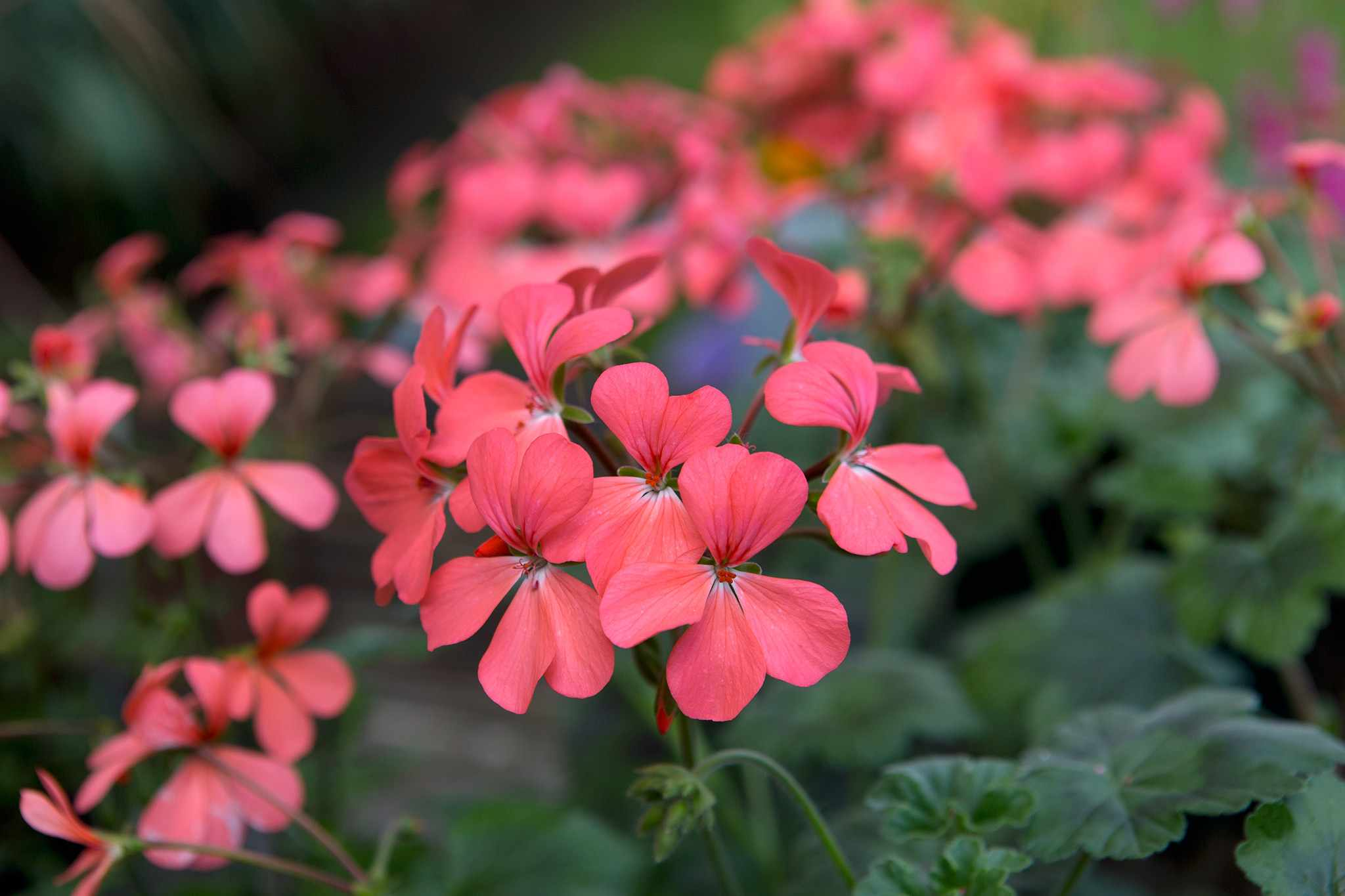 Pelargonium The Boar