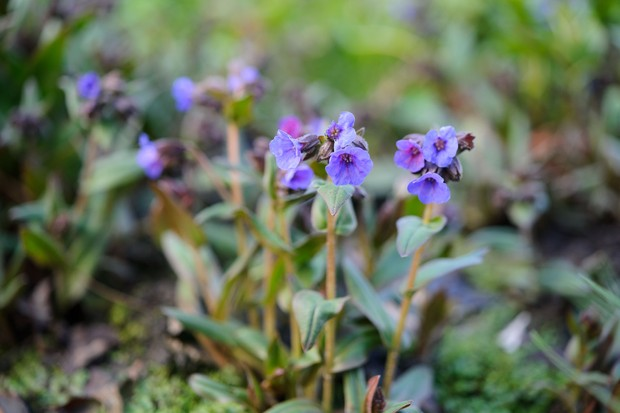Plant to help bees through winter into spring gardenersworld pulmonaria produces blue pink or lilac flowers in late winter set against white spotted foliage in early spring it makes good ground cover in a moist mightylinksfo