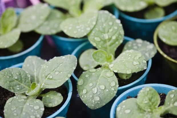 Young nicotiana plants