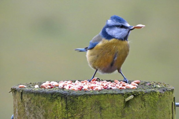 A blue tit eating bird seed