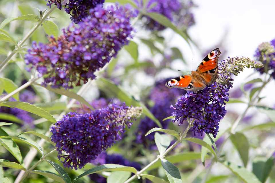Shrubs for butterflies - Buddleja davidii 'Cotswold Blue'