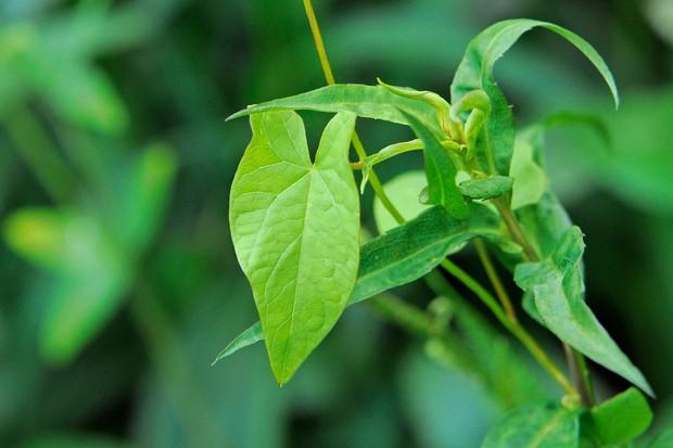 Bindweed (Calystegia sepium) foliage