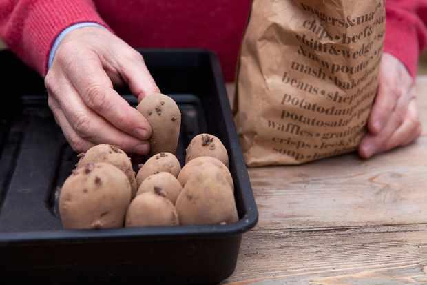 chitting-seed-potatoes-3
