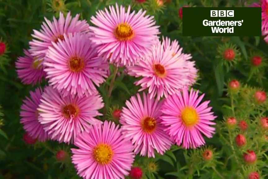 How to divide asters