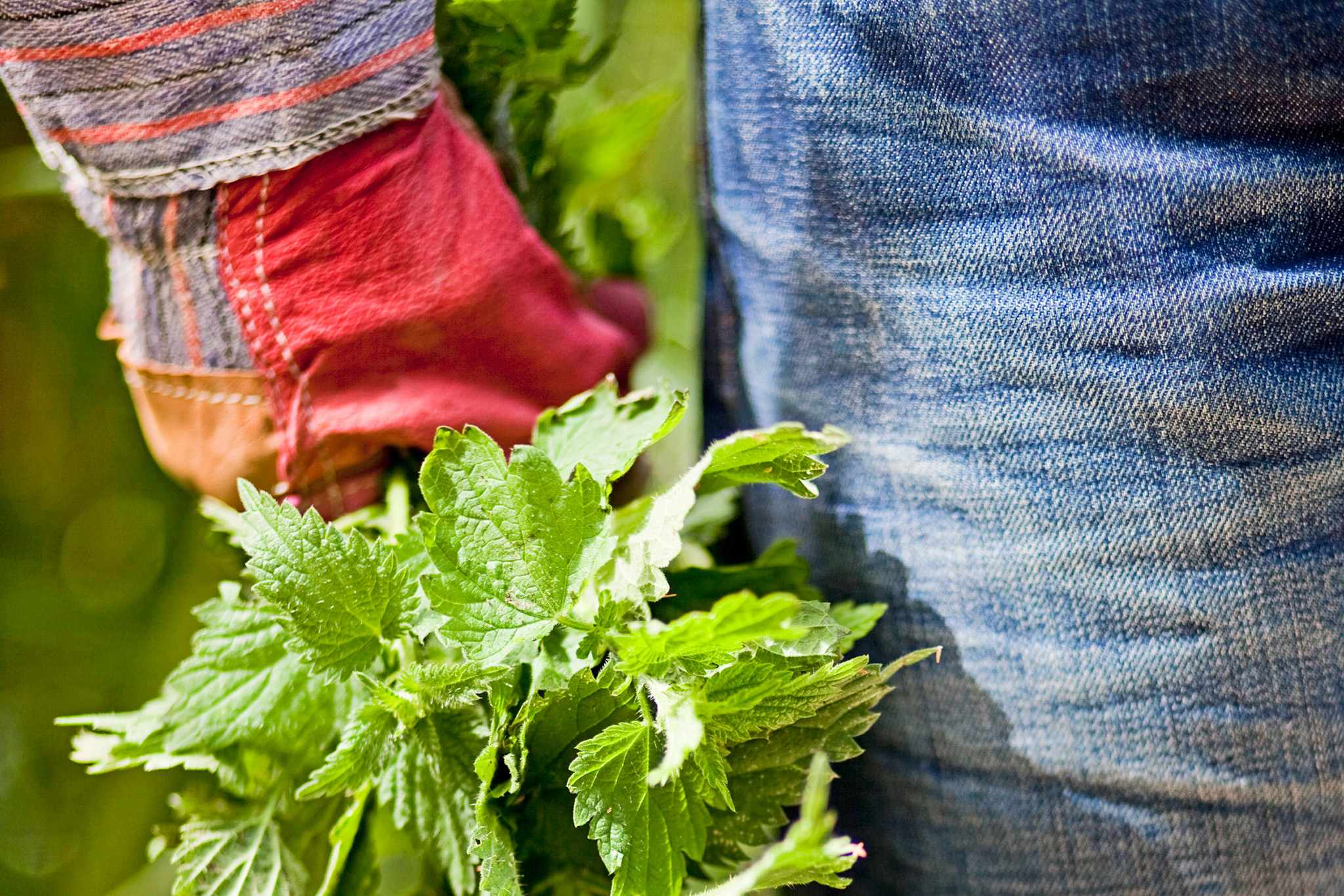 Carrying a bunch of nettles in a gloved hand