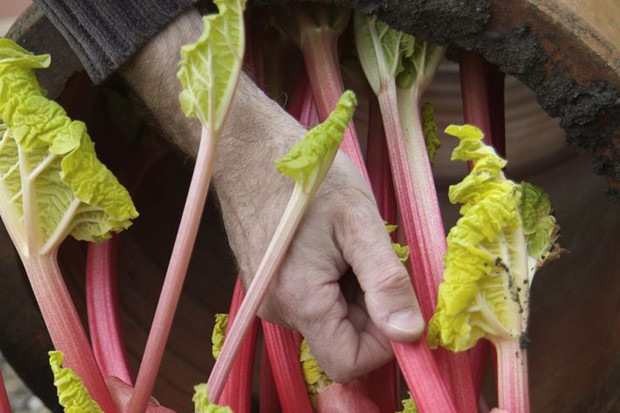 Harvesting the forced stems