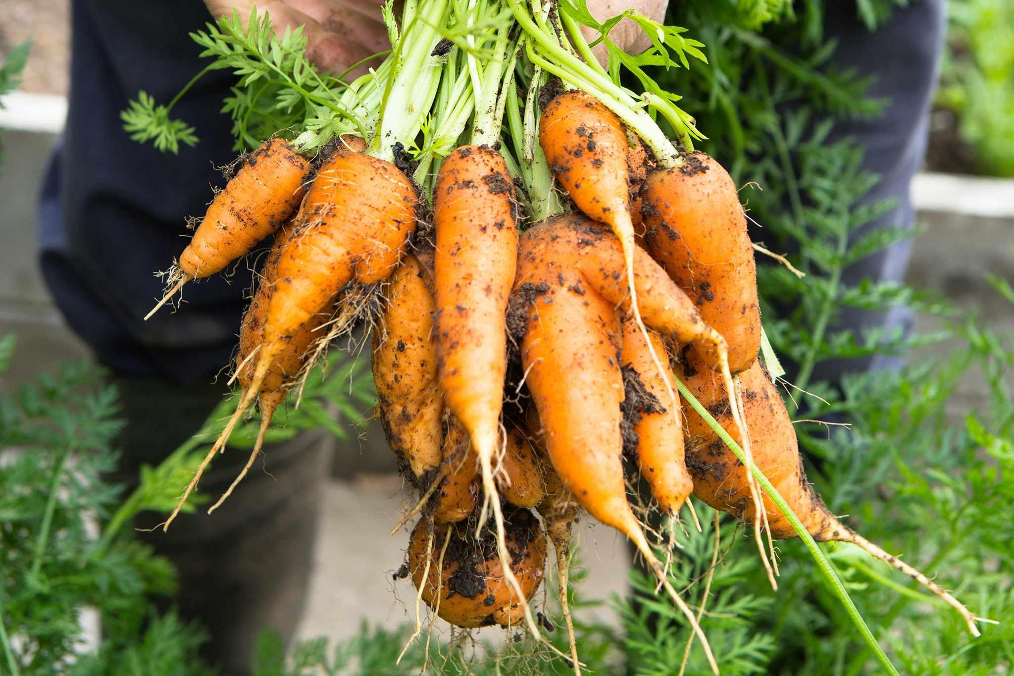 Best winter veg to grow - carrots