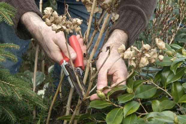 Pruning old hydrangea stems