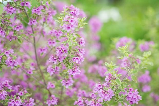 Purple-flowering Australian mint bush
