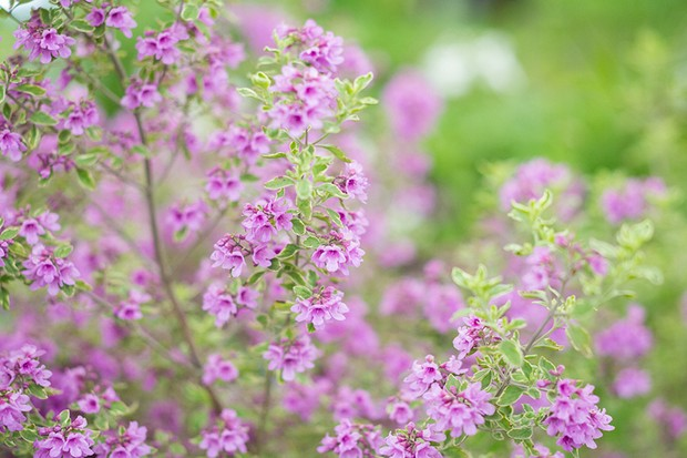 Purple-flowering Australian mint bush