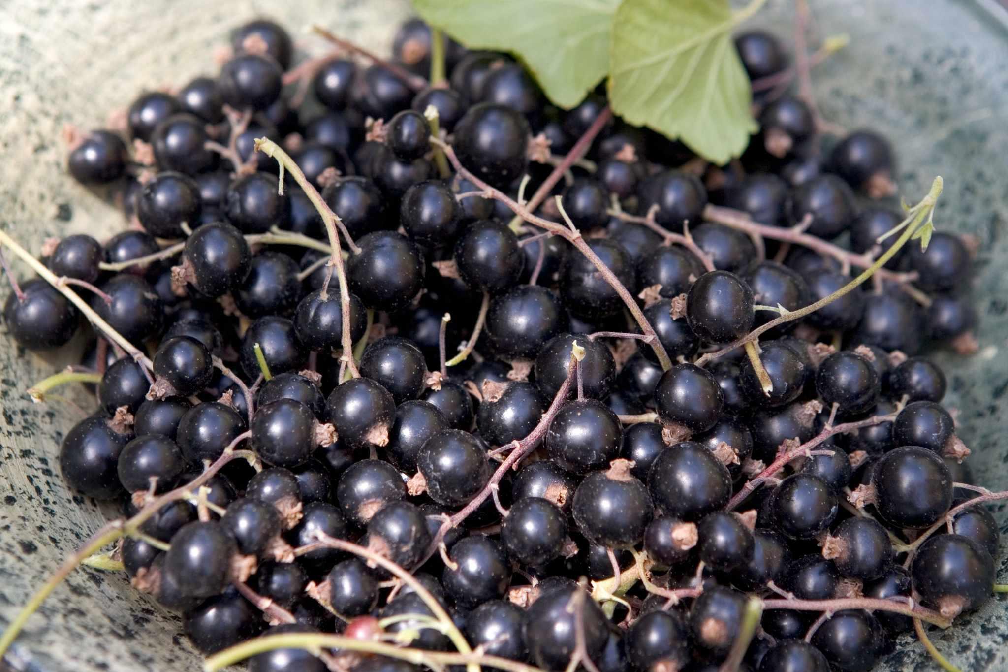 How to grow blackcurrants