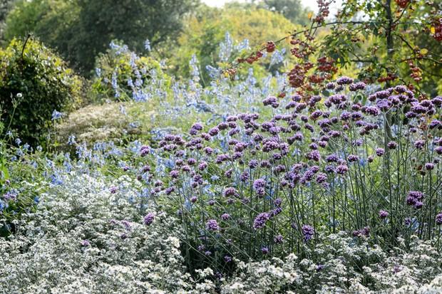 verbena-and-michaelmas-daisies-2