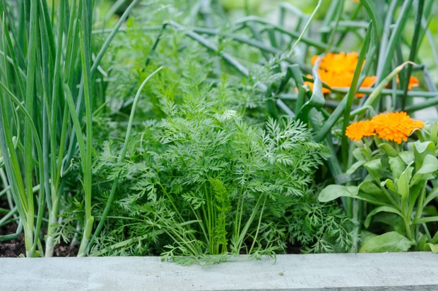 Growing carrots with alliums