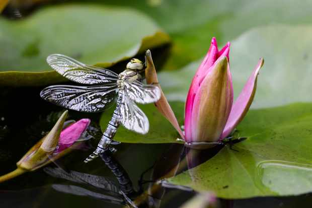 A dragonfly landing on an opening waterlily flower