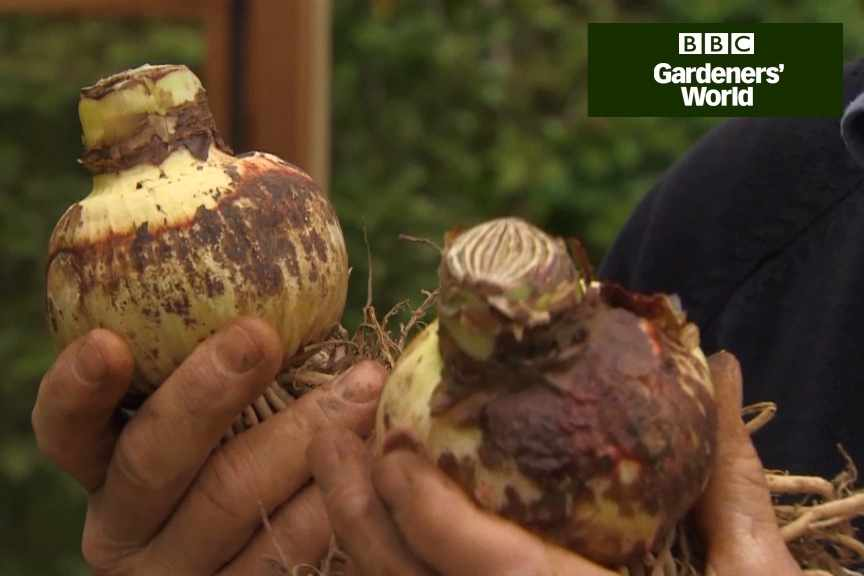 How to plant amaryllis bulbs for Christmas flowers video