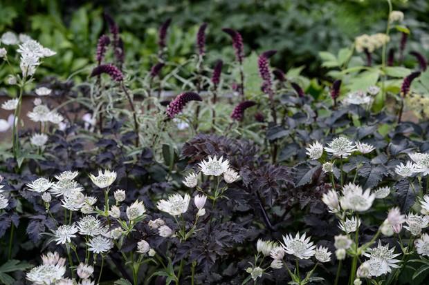White astrantias planted against a contrasting backdrop of black elder and dark purple lysimachias