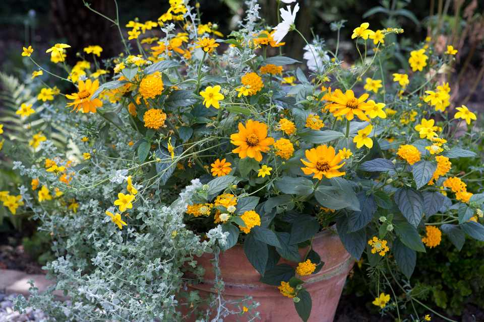 Yellow and orange-gold flowers combined with silver foliage in a container