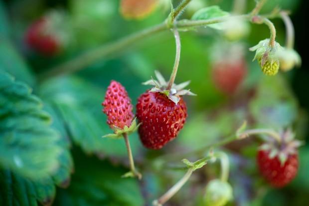 alpine-strawberries-6