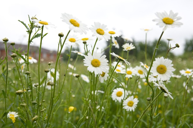 Tall-stemmed, white and yellow ox-eye daisy flowers