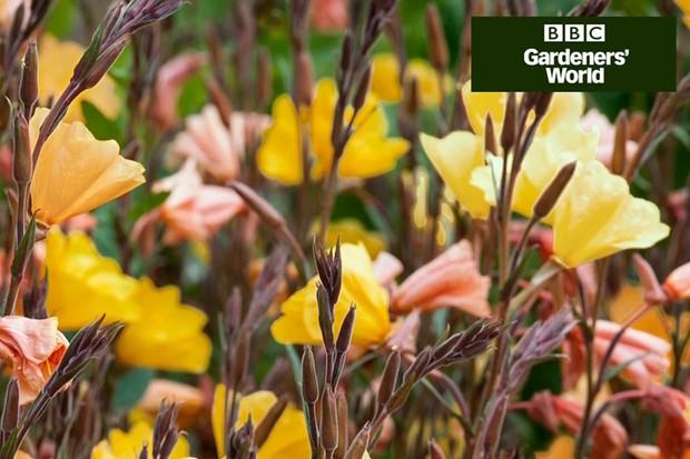 How to plant evening primroses in autumn