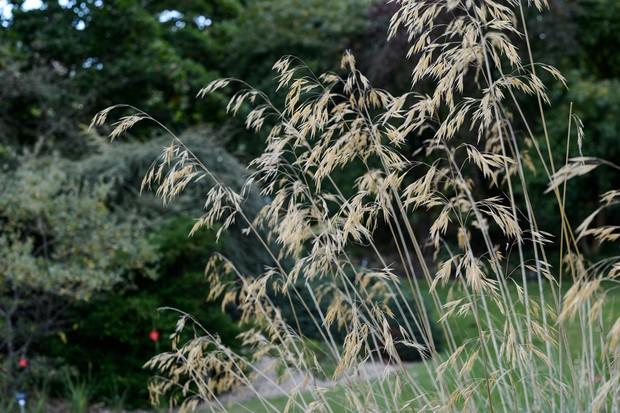 Stipa gigantea seedheads