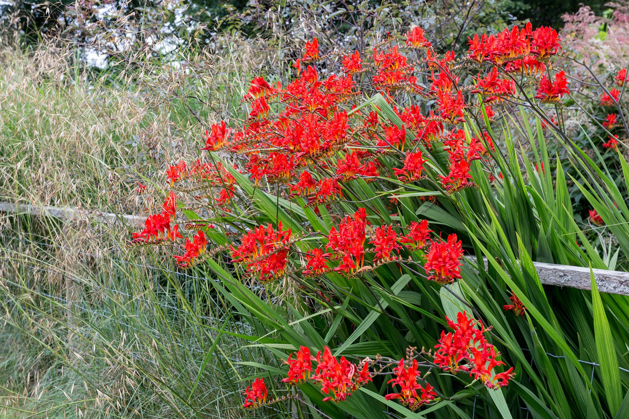50 X SEEDS RED CROCOSMIA VIBRANT RED LUCIFER  PERENNIAL