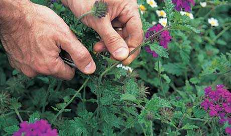 How to take verbena cuttings