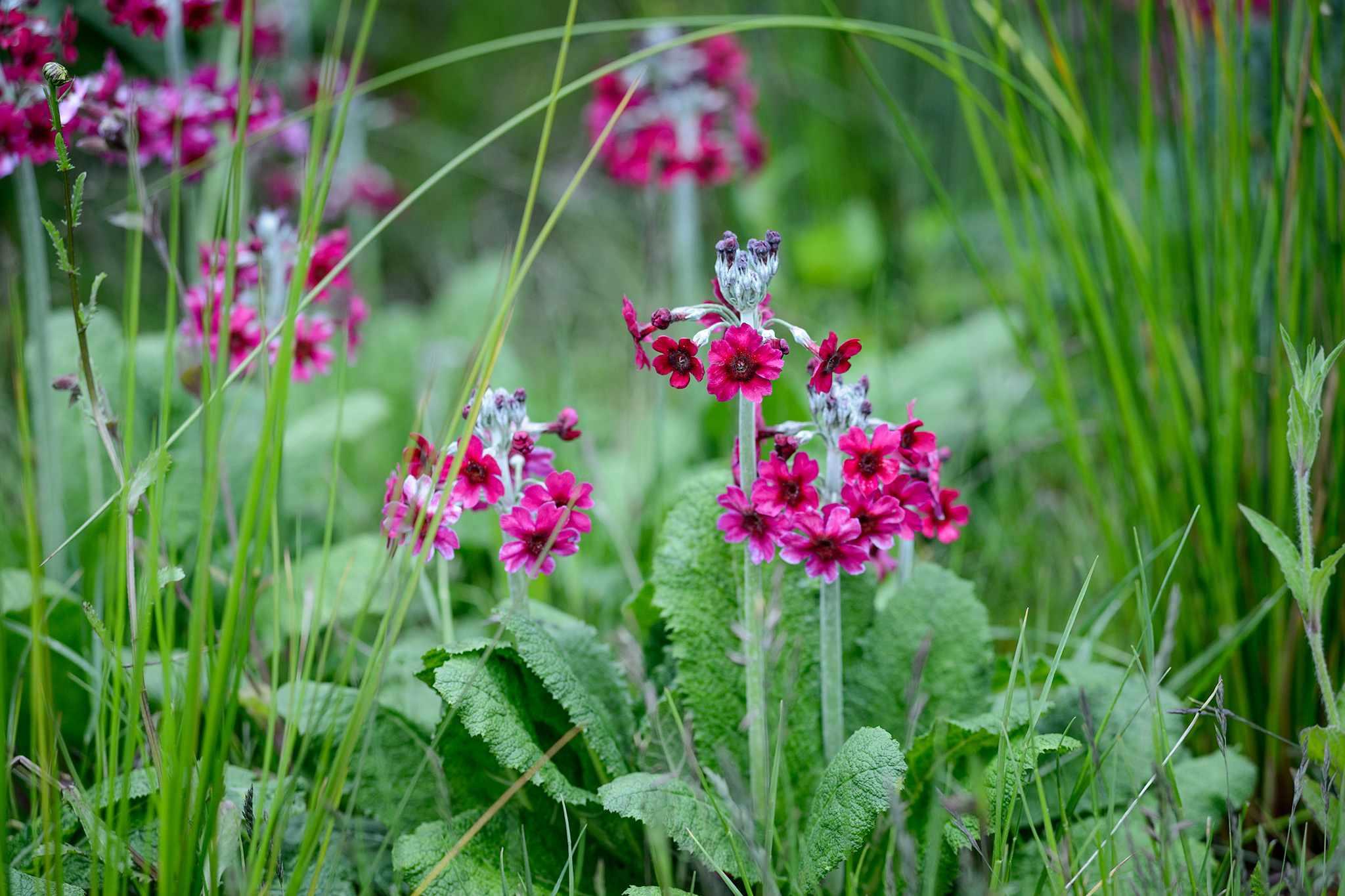 Pink candelabra primula flowers