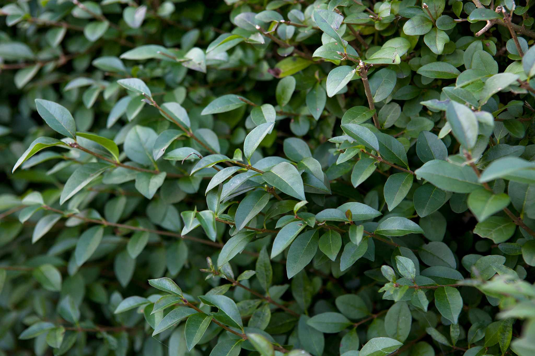 Chinese privet (Ligustrum sinsense) hedge