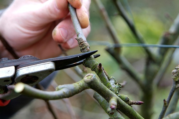 pruning-apples-in-winter-2