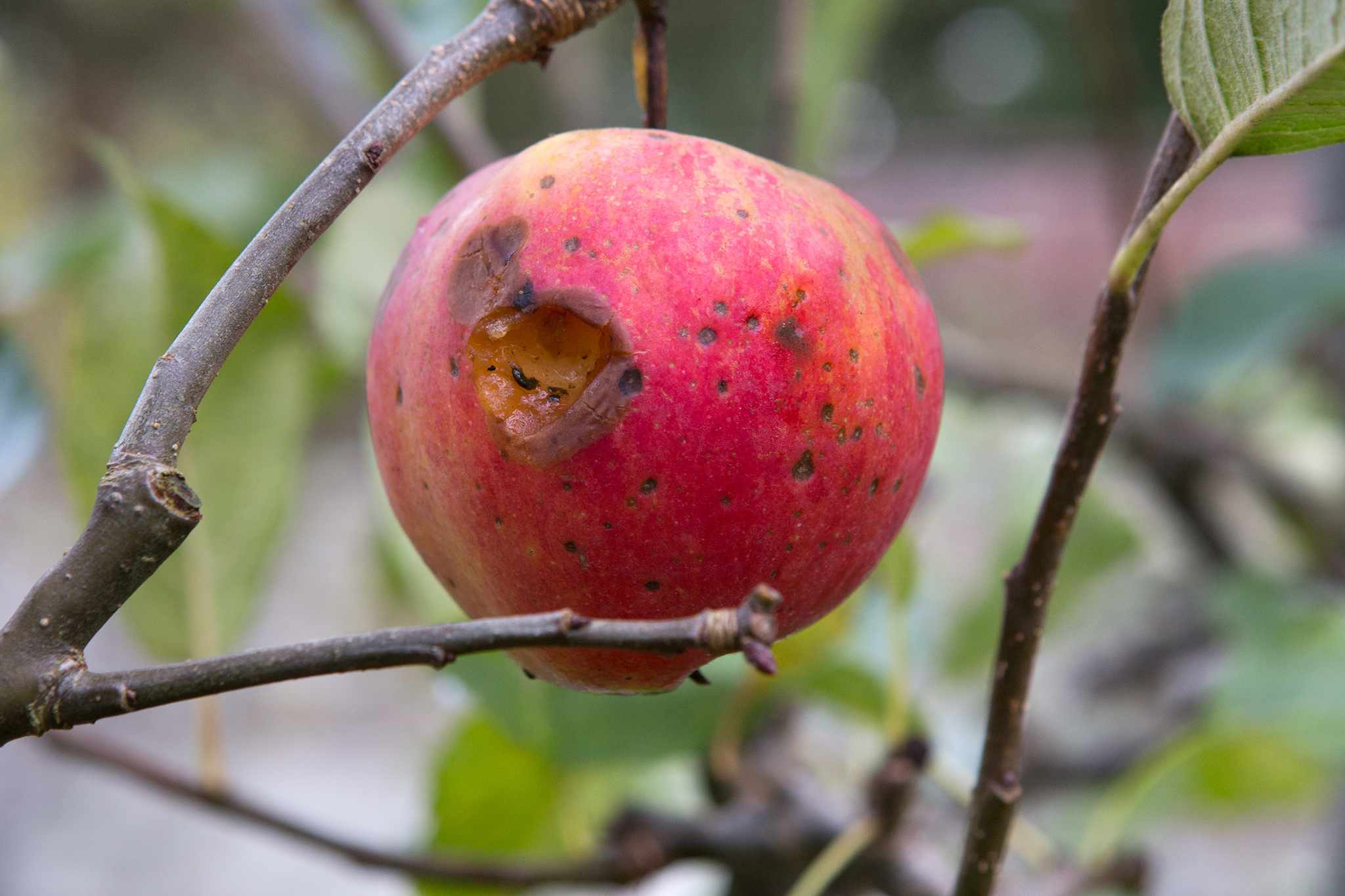 A ripe apple on the tree with a hole eaten by birds