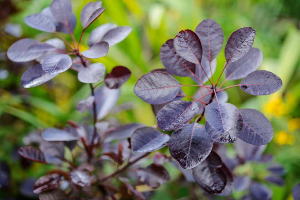 Bronze smoke bush foliage