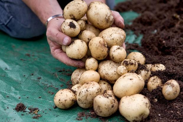harvesting-potatoes-12